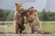FEATURE -  Braunbärenjungen sehen aus, als würden sie für Tanzwettbewerb üben