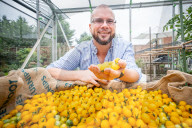 FEATURE -  Hat den grünen Daumen: Douglas Smith aus Stanstead Abbotts hat über 800 Tomaten an einem Strauch gezogen