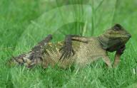 FEATURE - Ein Chamäleon sieht sehr entspannt aus, während es ein Sonnenbad geniesst