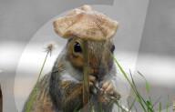 FEATURE - Eichhörnchen scheint eine Mütze zu tragen