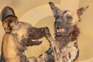 FEATURE - Afrikanische Wildhunde ringen miteinander