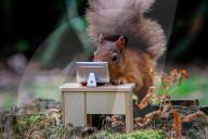 FEATURE - Am Mini-Schreibtisch: Ein Eichhörnchen bei der Arbeit