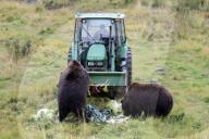 FEATURE - Resteverwertung: Braunbären in Portage werden mit den Überresten eines Gemüsewettbewerbs gefüttert