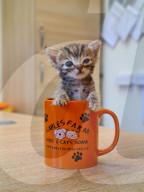 FEATURE - Nicht viel grösser als ein Schokoriegel: Kätzchen Freddo im Gables Dogs and Cats Home in Plymouth