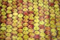 FEATURE - Apfelernte in Kent