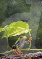 FEATURE - Frosch versucht verzweifelt, ein Blatt als Regenschirm zu benutzen