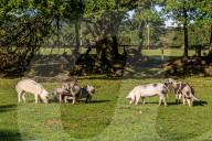 FEATURE - 1000 Jahre alte Tradition: Jungschweine werden für zwei Monate in die freie Wildbahn entlassen