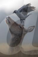 FEATURE - Krähe landet auf dem Kopf eines Rehs