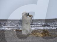 FEATURE - Eisbär spielt mit Seegras