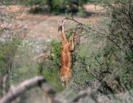 FEATURE -  Ein Gerenuk grast auf seinen Hinterbeinen