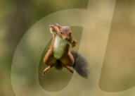 FEATURE - Ein rotes Eichhörnchen zeigt seine Sprungkraft