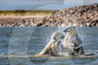 FEATURE - Eisbären kämpfen im Wasser