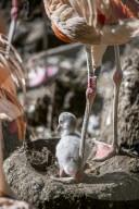 FEATURE - Ein frisch geschlüpftes Flamingo-Küken wird von seiner Mutter liebevoll behütet