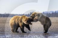 FEATURE - Bärenkampf in Alaska