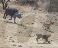 FEATURE - Löwenrudel wird von Büffel gejagt