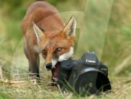 FEATURE - Frecher Fuchs: Reineke beäugt in Limavady misstrauisch eine Kamera