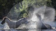 FEATURE - Wildpferde kämpfen in einem Fluss in Arizona