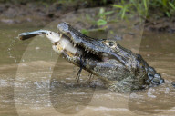 FEATURE - Kaiman fängt einen Fisch, der einen Fisch fängt