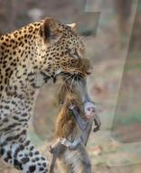 FEATURE - Ein hilfloses Affenbaby klammert sich nach einem Leopardenangriff an den leblosen Körper seiner toten Mutter